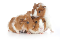 Abyssinian Guinea Pigs (Cavia porcellus) Royalty Free Stock Photos