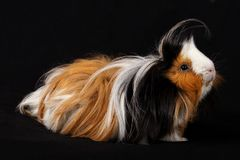Abyssinian Guinea Pigs & x28;Cavia porcellus& x29; Royalty Free Stock Photography