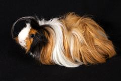 Abyssinian Guinea Pigs Cavia porcellus Royalty Free Stock Image