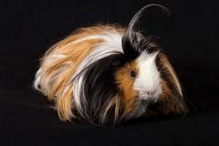 Abyssinian Guinea Pigs Cavia porcellus - Male Royalty Free Stock Images