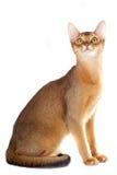 Abyssinian katt Royaltyfri Fotografi