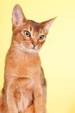 Abyssinian katt Fotografering för Bildbyråer