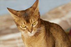 Abyssinian katt Royaltyfria Foton