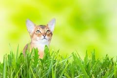 Abyssinian katt eller kattunge på soligt grönt gräs royaltyfri foto