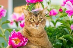 Abyssinian katt i blommor royaltyfri bild