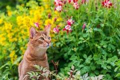 Abyssinian katt i blommor royaltyfri fotografi