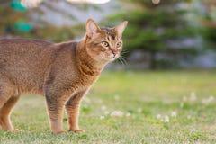 Abyssinian katt i naturen arkivbild