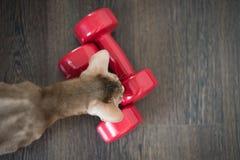 Abyssinian katt med två röda hantlar, en sund livsstil, bästa sikt på en träbakgrund royaltyfria foton