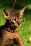 Abyssinian katt som går i röd krage arkivbilder