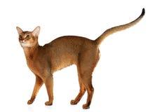 Abyssinian katt som isoleras på vit bakgrund Arkivfoto