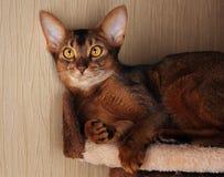 Abyssinian katt som ligger i katthus royaltyfri foto