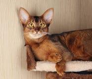 Abyssinian katt som ligger i katthus fotografering för bildbyråer