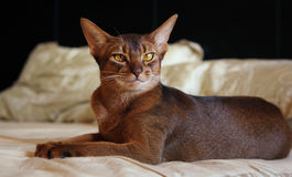 Abyssinian katt som ligger i säng fotografering för bildbyråer