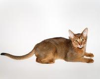abyssinian kattbarn royaltyfria bilder