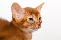 abyssinian kattunge Royaltyfria Foton