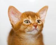 abyssinian kattunge Arkivbild