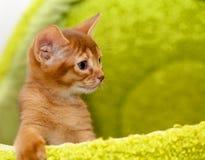 abyssinian kattunge Arkivfoton