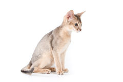 abyssinian kattunge Royaltyfri Fotografi