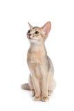 abyssinian kattunge Arkivbilder