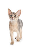 abyssinian kattunge Fotografering för Bildbyråer