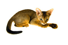 Abyssinian kitten. Lying small Abyssinian kitten isolated on a white background Royalty Free Stock Photography