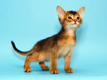 Abyssinian kitten. On blue background Royalty Free Stock Images
