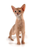 Abyssinian kitten. On white background with shadow Royalty Free Stock Images