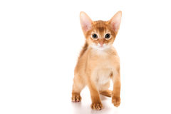 Abyssinian kitten. On white background royalty free stock images