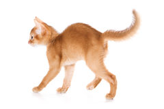 Abyssinian kitten. On white background Stock Images