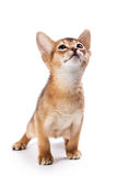 Abyssinian kitten. On white background Stock Image
