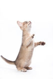 Abyssinian kitten. On white background Stock Photography