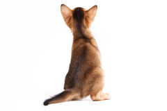 Abyssinian kitten. On white background Royalty Free Stock Photography