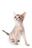 Abyssinian kitten. On white background Royalty Free Stock Image