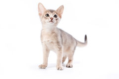 Abyssinian kitten. On white background Stock Photos