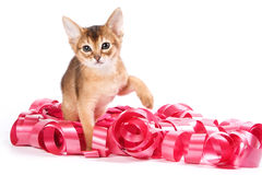Abyssinian kitten. On white background Royalty Free Stock Photos