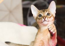 Abyssinian Kitten Stock Images
