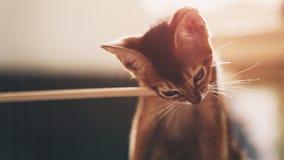 Abyssinian kitten bites wood stick. Shallow focus grainy photo Stock Photography