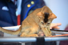 Abyssinian kitten stock image
