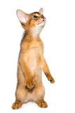 Abyssinian kitten Stock Photo