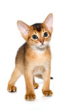 Abyssinian kitten. Abyssinian cat. Cute and lovely purebred ruddy abyssinian kitten isolated on white background Royalty Free Stock Photos