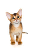 Abyssinian kitten. Abyssinian cat. Cute and lovely purebred ruddy abyssinian kitten looking up wondering, isolated on white background Royalty Free Stock Photography
