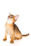 Abyssinian kitten. Abyssinian cat. Cute and lovely purebred ruddy abyssinian kitten looking up wondering, isolated on white background Stock Photos