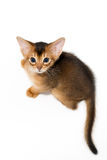 Abyssinian kitten Stock Photos