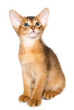 Abyssinian kitten. Abyssinian cat. Cute and lovely purebred ruddy abyssinian kitten posing, looking up wondering, isolated on white background Stock Photos