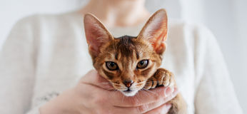 Abyssinian kitten. Cat in her arms, close-up portrait Stock Photo