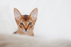 Abyssinian kitten. Close-up portrait Royalty Free Stock Image
