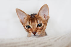 Abyssinian kitten. Close-up portrait Stock Photos