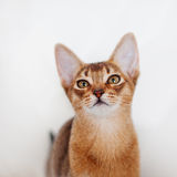 Abyssinian kitten. Close-up portrait Royalty Free Stock Photo