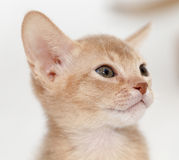 Abyssinian kitten . color fawn Stock Image
