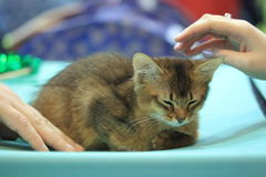 Abyssinian kitten and hands Royalty Free Stock Images